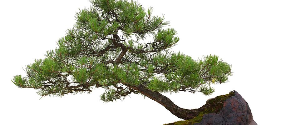 cultiver le bonsaï