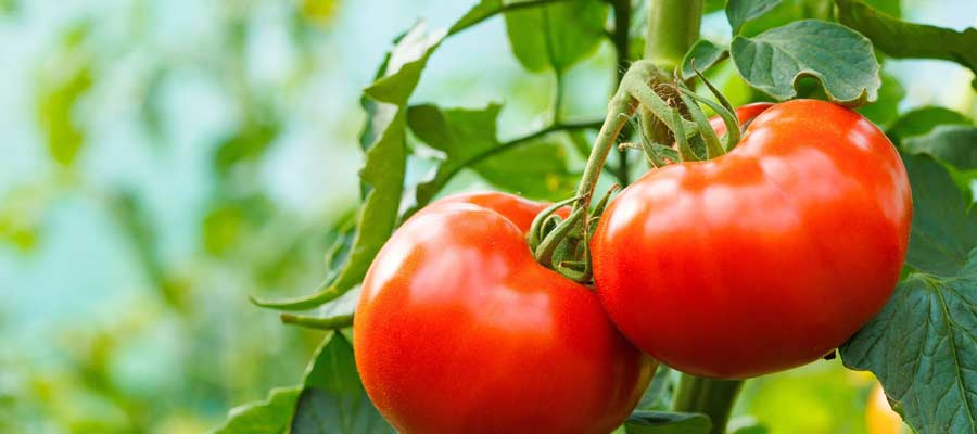 Cultiver tomates